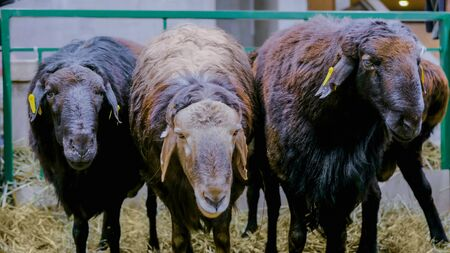 Three funny sheeps eating hay at agricultural animal exhibition. Farming, feeding, agriculture industry and animal husbandry concept