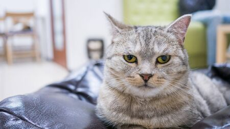 Portrait of grey lazy cat resting and looking around at modern cat cafe Stock fotó