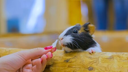 Woman feeding guinea pig in contact zoo Stock Photo