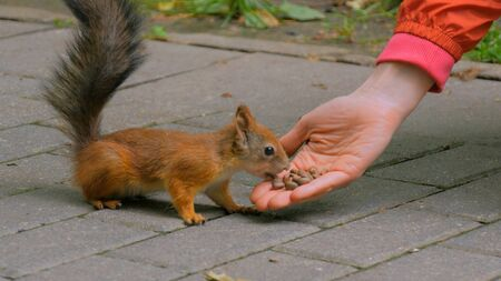 Woman feeds squirrel in the park. Squirrel takes food from hand. Feeding and caring concept