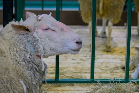 Portrait of shedding sheep resting at agricultural animal exhibition, small cattle trade show. Farming, agriculture industry, livestock and animal husbandry concept