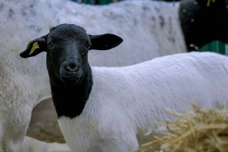 Portrait of cute little black and white lamb at agricultural animal exhibition, small cattle trade show. Farming, agriculture industry, childhood, family, livestock and animal husbandry concept 写真素材