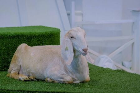 White goat lying on the artificial turf grass at agricultural animal exhibition, small cattle trade show. Farming, resting, agriculture industry, livestock and animal husbandry concept 写真素材