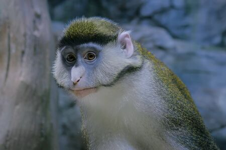 Portrait of green monkey looking at camera - close up view. Exotic animal, primate and wildlife concept Foto de archivo - 132122110