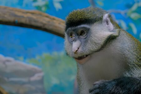 Portrait of green monkey with open mouth looking around - close up view. Exotic animal, primate and wildlife concept
