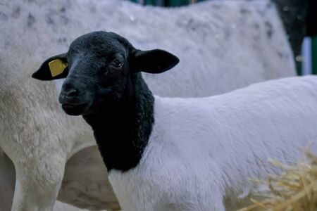 Portrait of cute little black and white lamb at agricultural animal exhibition, small cattle trade show. Farming, agriculture industry, childhood, family, livestock and animal husbandry concept Stock Photo