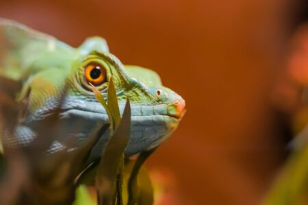 Close up view of green gecko lizard head in terrarium. Exotic animal concept