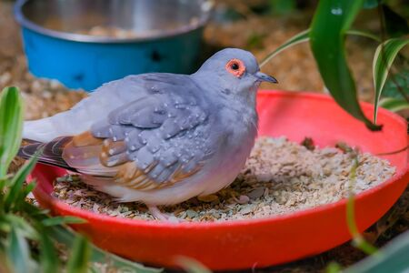 Grey diamond dove bird in the cage - close up view. Exotic animal and wildlife concept
