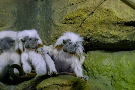 Portrait of two cotton-top tamarins at zoo. Exotic animal, care, primate and wildlife concept Stock Photo