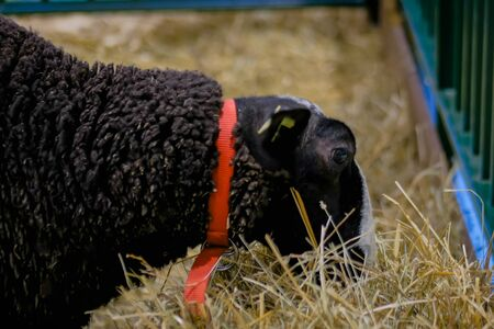 Black fluffy sheep eating hay at agricultural animal exhibition, small cattle trade show - close up view. Farming, feeding, agriculture industry, livestock and animal husbandry concept