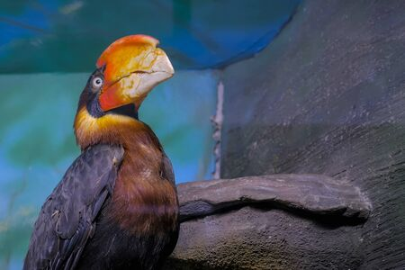 Portrait of philippine hornbill looking around - close up view. Exotic animal and wildlife concept Stockfoto