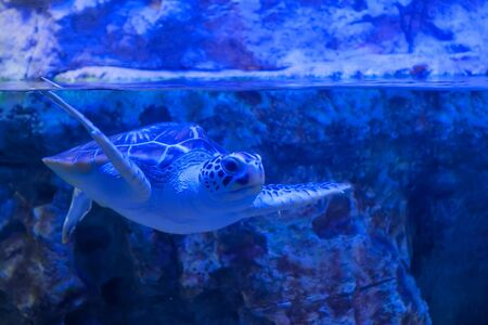 Big turtle swimming underwater in large public aquarium tank at oceanarium with blue illumination