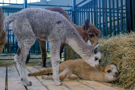 Portrait of two cheerful cute little alpacas resting together at agricultural animal exhibition, trade show. Farming, childhood, family, agriculture industry, livestock and animal husbandry concept