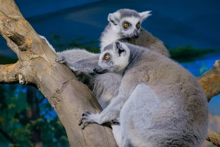 Two funny lemurs sitting on the tree. Exotic animal and wildlife concept