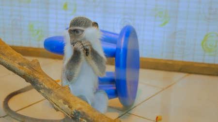 Monkey sitting near tree and eating mango fruit at zoo