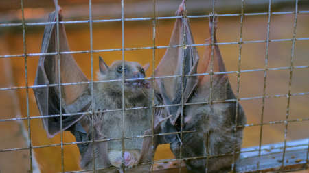 Close up shot fruit bats hanging in cage in zoo Foto de archivo