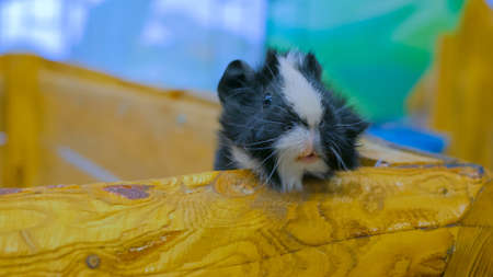 Curious guinea pig looking from wooden fence