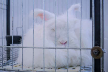 Fluffy white Angora rabbit resting in the cage at agricultural animal exhibition, pet trade show, market - close up view. Farming, agriculture industry, livestock and animal husbandry concept