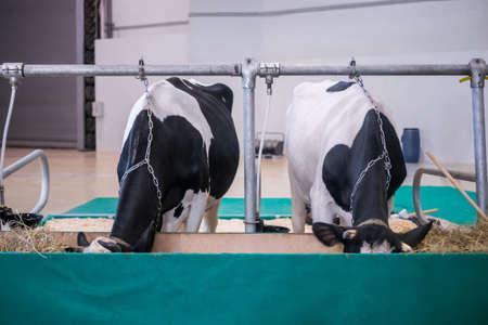 Two black and white milking cows eating hay at agricultural animal exhibition, cattle trade show. Farming, feeding, agriculture industry, livestock and animal husbandry concept Stok Fotoğraf