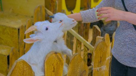 Woman feeding white goats on farm, wooden fence