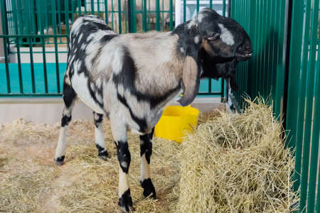 Portrait of black and grey Nubian goat at agricultural animal exhibition, small cattle trade show. Farming, agriculture industry, livestock and animal husbandry concept