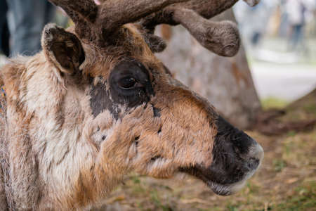 Portrait of sad brown siberian deer lying and resting at farm, zoo - close up side view. Summer time, daylight. Farming, agriculture industry, livestock and animal husbandry concept Standard-Bild