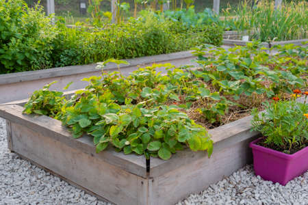 Vegetable garden with assortment vegetable plants in wooden raised bed boxes. Agriculture, nature, cultivation and ecology concept