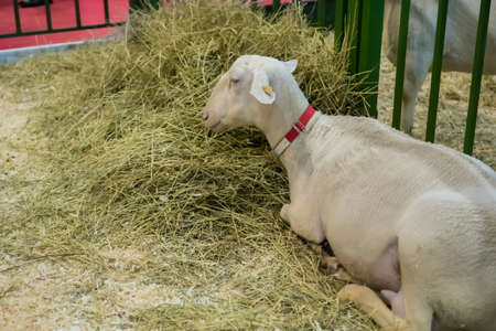 Portrait of cute white sheep at agricultural animal exhibition, small cattle trade show. Farming, agriculture industry, livestock and animal husbandry concept