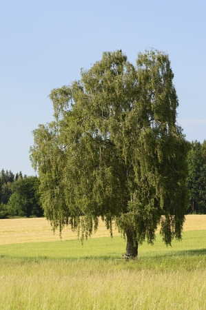 betula pendula: A birch tree Betula Pendula in Bavaria in the summer Stock Photo