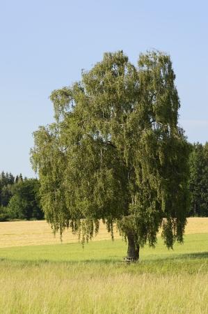 betula pendula: Un albero di betulla Betula Pendula in Baviera in estate