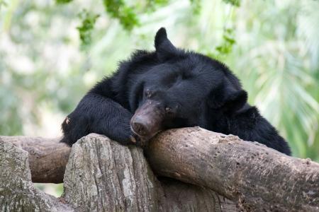asiatic: Sleeping Asiatic Black Bear