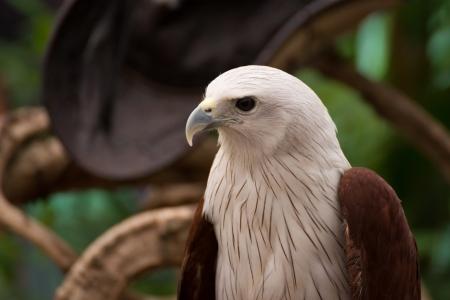 sparrowhawk: Portrait of hawk Stock Photo