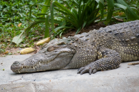 Head Shot of Siamese Crocodile Stock Photo - 18160048