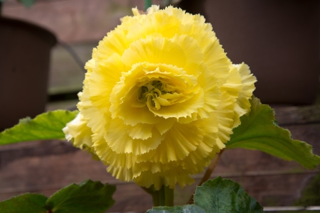 Yellow Begonia flowers  photo