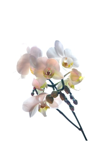 Orchid, fine delicate flower Stock Photo - 13344930