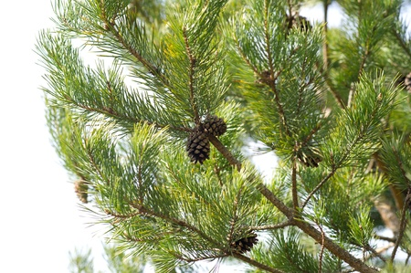 fir cones on a fir-tree in the wood Stock Photo - 13361767