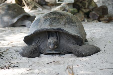 echse: Big Seychelles turtle, Giant tortoise, Stock Photo