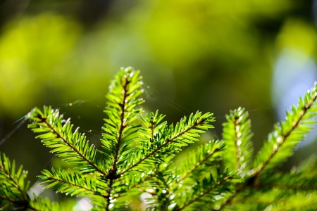 Russia. Nature and the forest. spruce branches