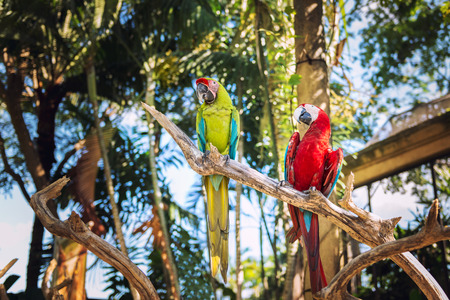 green winged macaw: Couple of Green-Winged and Scarlet macaws in nature surrounding, Bali, Indonesia
