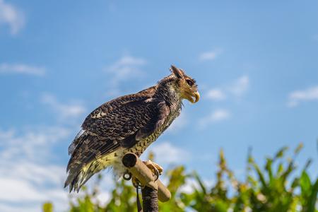 The falcon at Bali Birds Park. Indonesia