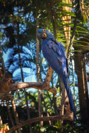 Blue parrot at background, Bali Bird Park, Indonesia.