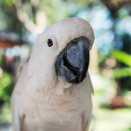 Close-up white parrot at Bali Birds Park. Indonesia Stock Photo