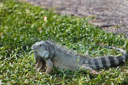 Green iguana in Bali Reptile Park. Indonesia