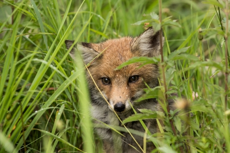 Little fox hidden in the tall grass