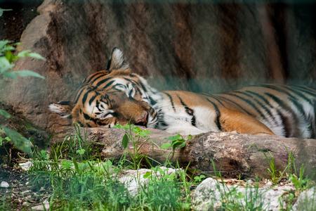 panthera tigris sumatrae: Big tiger lying and sleeping on his lair