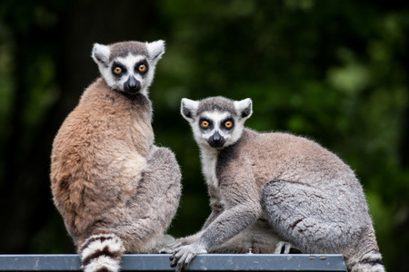 Pair of lemurs sitting on a branch photo