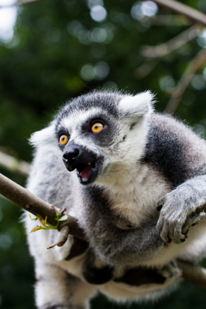 monkies: Aggressive ring-tailed lemur sitting on a branch Stock Photo