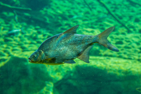 marinelife: Small fish in underwater view in the river Stock Photo