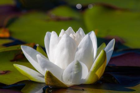 nenuphar: Natural nenuphar in cristal water lake summer Stock Photo