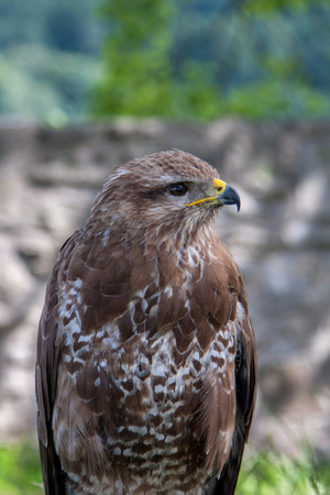 Close view at the young hunter falcon photo
